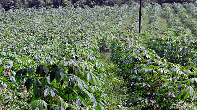 Cassaveplanten