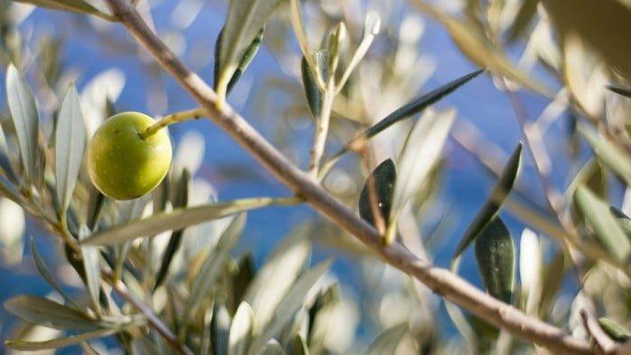 Zijn olijven wel zo gezond?